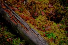 Forest ground (Klas-Herman Lundgren) Tags: dalarna sweden gimmen autumn höst forest trees skog october green mossa moss sifferbo se