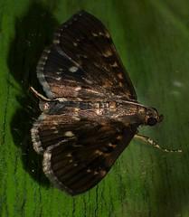 Sooty Bead chain moth Syllepte sp Spilomelinae Crambidae Airlie Beach Rainforest P1050289 (Steve & Alison1) Tags: sooty bead chain moth syllepte sp spilomelinae crambidae airlie beach rainforest