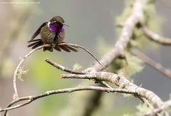 Purple-throated Woodstar (Calliphlox mitchellii) (www.sanjorgeecolodges.com) Tags: purplethroated woodstar calliphlox mitchellii america san jorge ecolodges tours trips birding bird photo luis alcivar best pájaro tucán animal macrofotografía madera birdwatching colibrí gente en la personas hummingbirds foto ecuador hierba insecto mariposa árbol