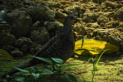 Spotted Dove! (Abeer!) Tags: abeer abeerbarman animal bengal birds black blackandwhite brown eyes field fall flowers green grass garden golden india kolkata leaves male female nature new neck old objective portrait pet sunlight sunshine scenery sun tree trees westbengal white wildlife wild wings yellow backyard dove spotteddove spilopeliachinensis