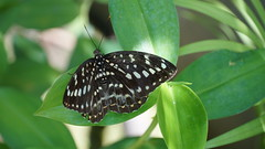 2019-02-11_12-46-38_ILCE-6500_DSC02828 (Miguel Discart (Photos Vrac)) Tags: 150mm 2019 animal animalphotography animals animalsupclose animaux butterfly chiangmai e18135mmf3556oss fleurs flowers focallength150mm focallengthin35mmformat150mm holiday ilce6500 iso500 nature naturephotography papillon pet sony sonyilce6500 sonyilce6500e18135mmf3556oss thailand thailande travel vacances voyage