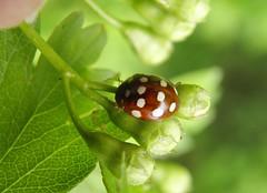 Calvia quatuordecimguttata (rockwolf) Tags: calviaquatuordecimguttata creamspot ladybird beetle coccinellidae coleoptera coccinelle coccinelleà14points insect venuspool shropshire rockwolf