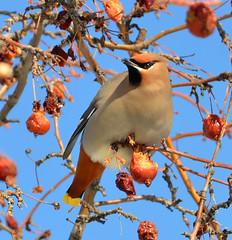 Bohemian Waxwing (Kelly - McLaughlin) Tags: bird alberta canada animal bohemian waxwing red blue grey