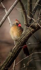 Spring Beauty (Portraying Life, LLC) Tags: cropapsc dbg6 hddfa150450 k1mkii michigan pentax ricoh topazaiclear unitedstates bird closecrop handheld nativelighting backyard