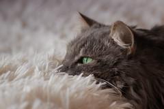 It's a rainy day .... (FocusPocus Photography) Tags: katze kater cat tier animal haustier pet decke blanket regentag rainyday fynn fynnegan
