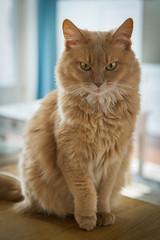 Pretty Girl (peterned) Tags: somali fawn pedigree pet cat khaleesi pretty girl portrait posing lifted paw canon eos 7d april 2018 1755mm fluffy ruffled