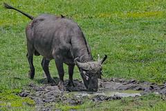 Африканский буйвол, Syncerus caffer caffer, African Buffalo (Oleg Nomad) Tags: африканскийбуйвол synceruscaffercaffer africanbuffalo африка ботсвана чобе животные сафари safari africa chobe botswana animal mammal travel