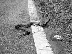 Smoking kills (Matteo Allochis) Tags: snake dead death novara road cigarette pack stripe