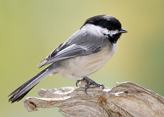 _A991821 (mbisgrove) Tags: bird a99m2 a99ii chickadee sony sal70400g2