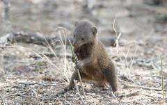 Dwarf Mongoose checking territory marks -9405 (Theo Locher) Tags: dwarfmongoose helogaleparvula zoogdieren mammals krugernationalpark southafrica kruger zuidafrika copyrighttheolocher