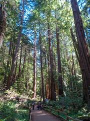 Muir Wood National Monument - San Francisco - California - USA (TravelMichi) Tags: muirwoodnm usa reisen californa travel millvalley kalifornien vereinigtestaaten us