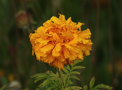Dutch colors (eric zijn fotoos) Tags: sonyrx10m3 sony flower flora bloem garden tuin orange oranje plant nature natuur