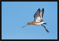HOVERING GODWIT (PHOTOGRAPHY STARTS WITH P.H.) Tags: black tailed godwit lodmore weymouth dorset nikon d500 500mm afs vr gitzo mk5 wimberley wh200 gimbal