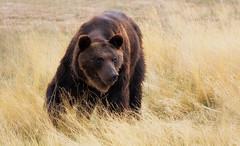Roaming bear (footloose9 Dennis Farrell) Tags: this photo rocks