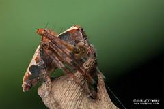 Lynx spider (Hamataliwa sp.) - DSC_3731 (nickybay) Tags: singapore admiraltypark macro hamataliwa oxyopidae lynx spider