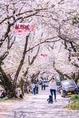Cherry blossoms (Hiro_A) Tags: sakura cherryblossoms flower spring tree pink saijo ehime shikoku japan people street nikon d7200 sigma 1770 1770mm