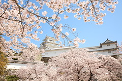 Himeji castle and cherry (Teruhide Tomori) Tags: 日本 姫路 城郭 古城 姫路城 天守閣 伝統 建築 兵庫県 桜 染井吉野 ソメイヨシノ sakura cherry japan japon flower spring castle tradition architecture construction himejicastle himeji hyogo