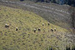 Ovejas y cuervo (esta_ahi) Tags: montseny barcelona spain españa испания collformic ramat rebaño ovelles ovejas ovisorientalisaries bovidae ganadería animales fauna osona