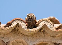 Little Owl (Athene noctua) (piazzi1969) Tags: elements littleowl owls eulen käuze steinkauz wildlife birds nature portugal caboespichel europe canon eos 7d markii ef100400mm avifauna fauna athenenoctua