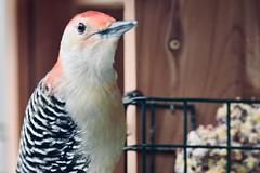 At the feeder... (stevelamb007) Tags: lincolnshire illinois redbelliedwoodpecker woodpecker bird stevelamb nikon d7200