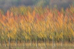 Junge Kirschbäume im Herbst - Young cherry trees in autumn (heinrich.hehl) Tags: natur herbst kirschbäume herbstlaub icm autumnleaves cherrytrees autumn nature