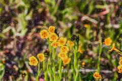 Generally Abundant (p) (davidseibold) Tags: america california canonrebelxsi colororange grass jfflickr kerncounty nature photosbydavid plant postedonfb postedonflickr rancheriard unitedstates usa wildflower