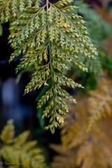 Wet Ferns 2 (stephencurtin) Tags: fern wet winter plant