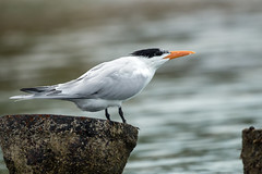 IMG_2999 Royal Tern (suebmtl) Tags: bird birding seabird caribbean waterbird thalasseusmaximus banded