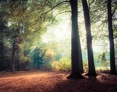 Beautiful light is born of a contrast to darkness (Ingeborg Ruyken) Tags: 2018 autumn october woods berlicum fall flickr herfst ochtend morning wamberg tree forest oktober natuurfotografie 500pxs instagram shertogenbosch bos