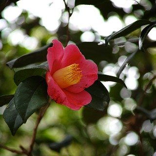 Camellia Japonica with my SIGMA DP3 Merrill (1/3)
