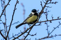 Great Tit (Liam Waddell) Tags: bird sky bogside flats sssi irvine ayrshire scotland great tit small black white yellow tree bush wood