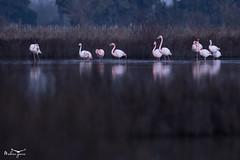 Flamants roses (Mathieu Garcia) Tags: flamant rose flamingo bird oiseaux camargue méditerranée france canon phoenicopterus roseus oiseau eau étang