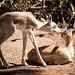 Young blackbucks antilope cervicapra
