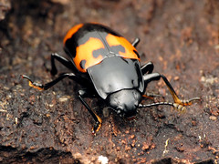 Pleasing Fungus Beetle (treegrow) Tags: rockcreekpark washingtondc nature lifeonearth raynoxdcr250 arthropoda insect beetle coleoptera erotylidae megalodacneheros
