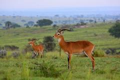 Male Ugandan kobs in the savannah (supersky77) Tags: uganda africa murchisonfallsnationalpark