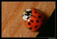 Coccinelle asiatique (Harmonia axyridis) (cquintin) Tags: arthropoda coleoptera coccinellidae harmonia axyridis coccinelle ladybird ladybug
