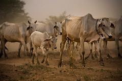 Skinny Cows (Jeremiah Cooper Photography) Tags: nikon myanmar burma asia southeastasia travel travelphotography cows animals skinny bagan dirt tan brown white gray beef
