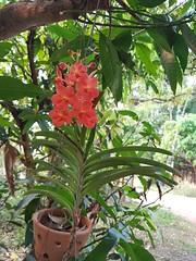 Vanda sp. Orchidaceae - orange vanda orchid 11 (SierraSunrise) Tags: epiphytes esarn flowers hanging hangingplants isaan nongkhai orange orchidaceae orchids phonphisai plants thailand vanda