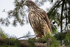 Habicht, Jungvogel (cfowallburg) Tags: accipitergentilis accipitridae accipitriformes habicht greifvogel