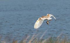 Barn Owl and prey (Steve (Hooky) Waddingham) Tags: stevenwaddinghamphotography animal countryside coast bird british barn voles nature northumberland flight wild wildlife prey planet