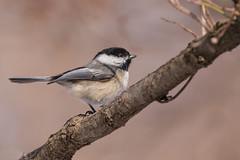 Chickadee (Lynn Tweedie) Tags: wood beak tail wing canon ngc animal 7dmarkii missouri bird chickadee tree feathers eos eye sigma150600mmf563dgoshsm branch