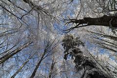 La danse (Jacques Isner) Tags: arbres nature neige givre samyang14mm samyang pentax pentaxart pentaxflickraward pentaxk1 jacquesisner