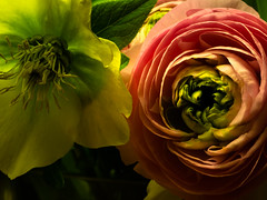 Wish everyone a spring-like weekend (rainerralph) Tags: makro olympus flowers fruehling frühling omdem5markii spring mzuikodigital60mm28macro blumen stativ gorillapod