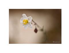 Perdiguera blanca, (Helianthemum apenninum). (EFD-fotolab) Tags: españa efdfotolab petalos macrofotografia macro nikond610 nikon nikkor105mm naturaleza primavera2019 flowers floressilvestres flores florblanca heliantemoblanco perdiguerablanca helianthemumapenninum