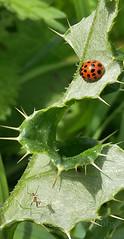 Harlequin Ladybird , Harmonia axyridis (Geckoo76) Tags: insect beetle ladybird ladybug harlequinladybird harmoniaaxyridis