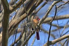 Female Cardinal (mark owens2009) Tags: femalecardinal tree nikond5100