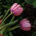 Tulips 20