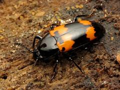 Pleasing Fungus Beetle (treegrow) Tags: rockcreekpark washingtondc nature lifeonearth raynoxdcr250 arthropoda insect coleoptera beetles erotylidae megalodacneheros