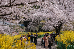 K4092163 (ODHuang) Tags: kyoto 京都 japan 日本 山科 山科疏水