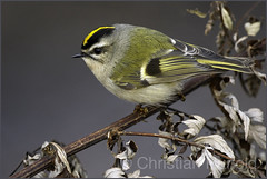 golden-crowned kinglet (Christian Hunold) Tags: goldencrownedkinglet indianergoldhähnchen johnheinznwr philadelphia christianhunold